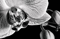 White and pink orchid Phalaenopsis in Black and White