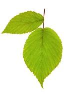 leaf raspberry isolated on white