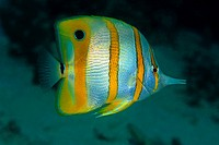 Copperband Butterflyfish or Beaked Coralfish (Chelmon rostratus), Borneo, Malaysia, Indo-Pacific Ocean, Asia