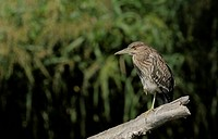 Young Black_crowned night heron Nycticorax nycticorax, Danube Delta, Romania, Europe