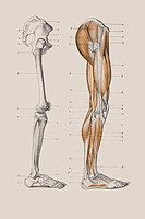 Skeleton of a human leg, anatomical illustration