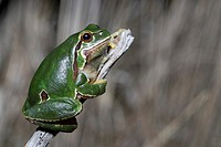 European tree frog Hyla arborea on branch in Valdemanco, Madrid, Spain