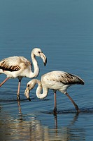 tow flamingos on the salt flats of San Pedro del Pinatar, Murcia, Spain