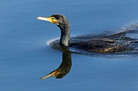 cormorant in guadarrama natural park, madrid, spain