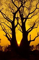 Baobab tree in the okavango delta, Botswana