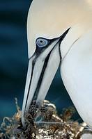 Gannet Sula bassana Arranging Nest