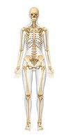 Female skeleton. Computer artwork of the front view of a woman, showing the skeletal structure.