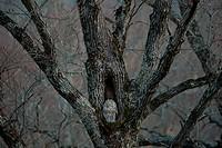 Ezo Ural owl