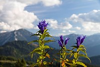 Willow Gentian (Gentiana asclepiadea), Alps, Austria, Europe