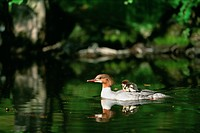 Parent_child goosander