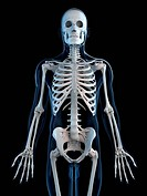 Human skeleton, computer artwork.