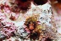 Moss fringehead