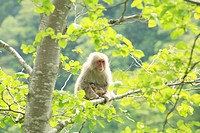 Family of Japanese Macaque, Shirabu Pass