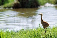 Red_crowned crane chick