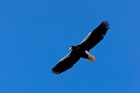 Steller´s sea_eagle