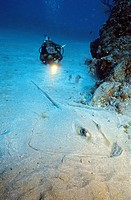 A scuba diver and a southern stingray (Dasyatis americana), St. Eustatius, Statia, Caribbean