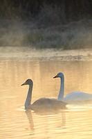 Swans, Obihiro River