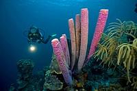 A scuba diver and a Stove-pipe sponge (Aplysina archeri), Bonaire, Lesser Antilles, former Netherlands Antilles, Caribbean