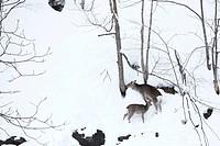 Hokkaido Sika Deer Winter