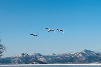 Lake Kussharo, swans in winter