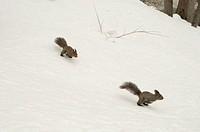 Two Hokkaido squirrels running