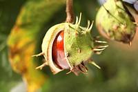 Horse Chestnut (Aesculus hippocastanum), split fruit capsule