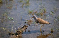 Grey_headed lapwing