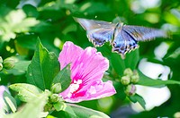 Rose of sharon and old world swallowtail frying