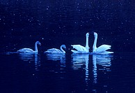 Family of Tundra swans