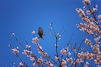 Cherry blossoms and Brown_eared bulbul
