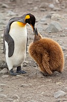 King penguin feeding a chick Aptenodytes patagonicus, St  Andrews Bay, South Georgia Island