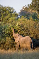 A lone african elephant Loxodonta africana feeding on an acacia tree in the Okavango Delta, Botswana, Africa