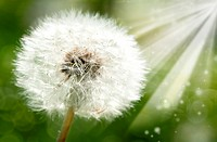 dandelion flower against sun beam, spring backgrounds