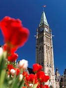 Closeup of red tulips in front of The Piece Tower  The Parliament Building in Ottawa  Tulip festival  Ontario, Canada springtime scenic May 2012