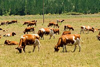 Cattle grazing in the pastures near Curicó city. Chile