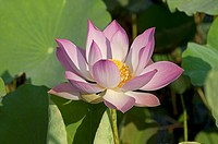 Lotus flower, Nelumbo nucifera