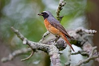Common redstart (Phoenicurus phoenicurus), Thuringia, Germany, Europe