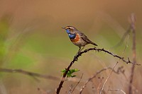 Bluethroat Luscinia svecica, Texel, The Netherlands, Europe