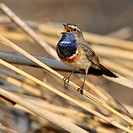White-spotted Bluethroat (Luscinia svecica cyanecula), singing, Donauauen, Bavaria, Germany, Europe