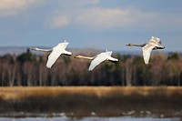 Whooper swans (Cygnus cygnus), flying animal family, Hornborgasjoen, Vaestergoetland, Sweden, Scandinavia, Europe