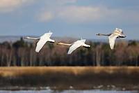 Whooper swans (Cygnus cygnus), flying animal family, Hornborgasjoen, Vaestergoetland, Sweden, Scandinavia, Europe