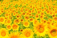Sunflower field, shallow focus