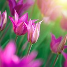 Close up photo of pink tulips with sun beam