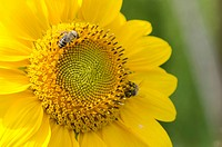 Sunflower (Helianthus annuus) with bees (Apis mellifera), Franconia, Germany, Europe