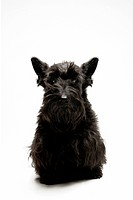 Scottish Terrier, black