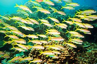 School of Yellowfin goatfish