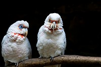 The Long-billed Corella, Cacatua tenuirostris, parrot from Australia