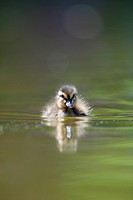 cute little duckling swimming in water