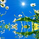 daisy flower and water reflection showing summer concept