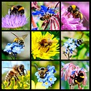 Nine mosaic photos bees and bumblebees feeding flowers